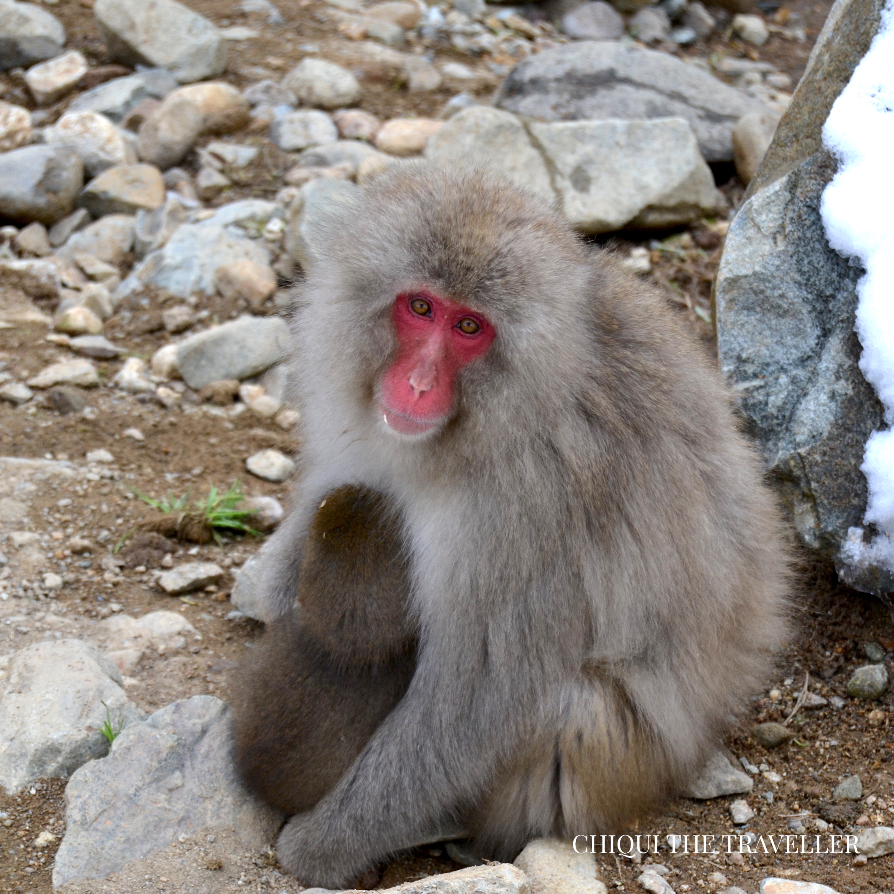 Los Monos De La Nieve De Jigokudani Chiqui The Traveller