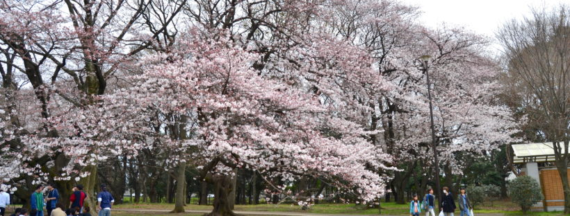 Kinuta parque Tokio sakura 7